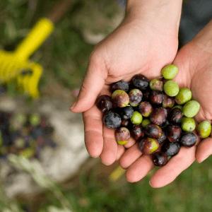 Hiç Zeytin Ormanı'nda Gastronomi ve Hasat Deneyimi